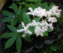 rodgersia-aesculifolia
